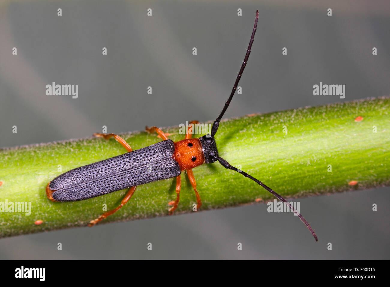 Twin spot longhorn beetle (Oberea oculata), on a twig, Germany - Stock Image