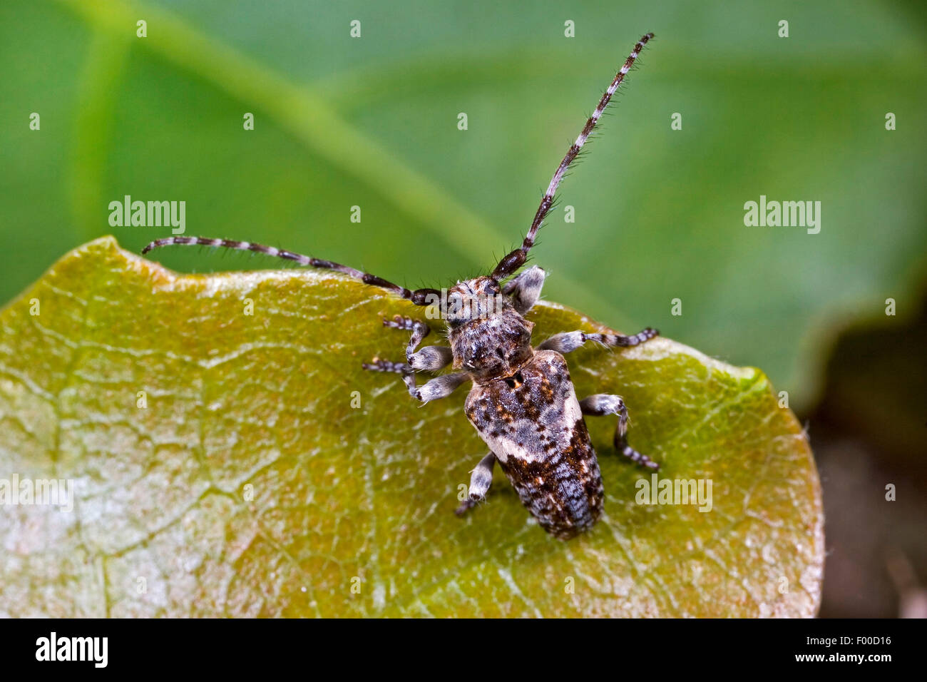 Conifer-wood longhorn beetle, Pine Longhorn (Pogonocherus fasciculatus), on a leaf, Germany - Stock Image