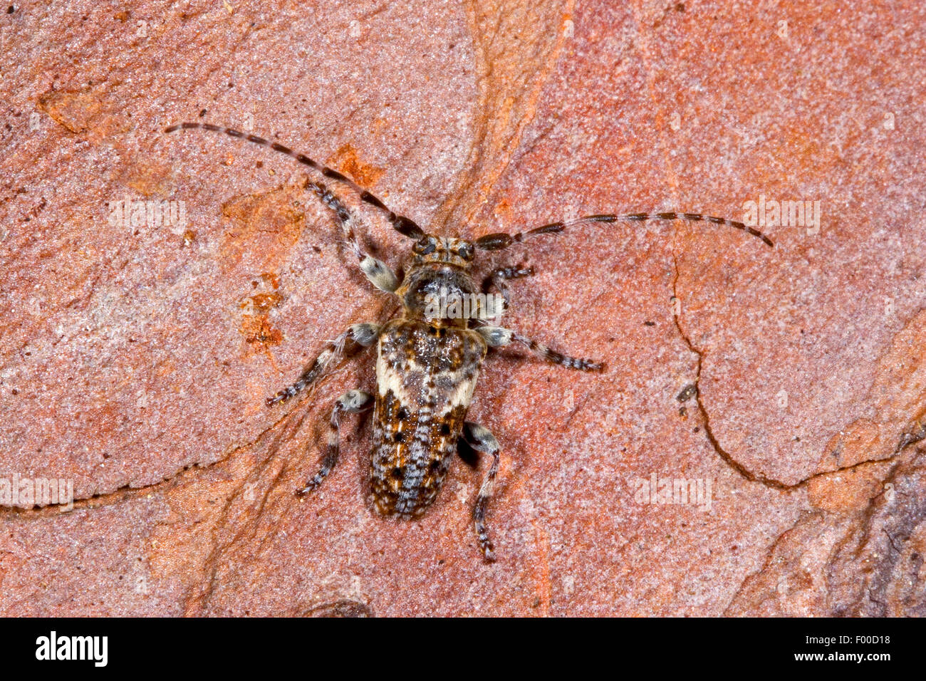 Conifer-wood longhorn beetle, Pine Longhorn (Pogonocherus fasciculatus), on bark, Germany Stock Photo