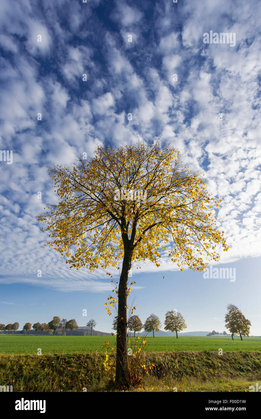 basswood, linden, lime tree (Tilia spec.), basswood in autumn, Germany, Lower Saxony, Weserbergland, Bodenwerder - Stock Image
