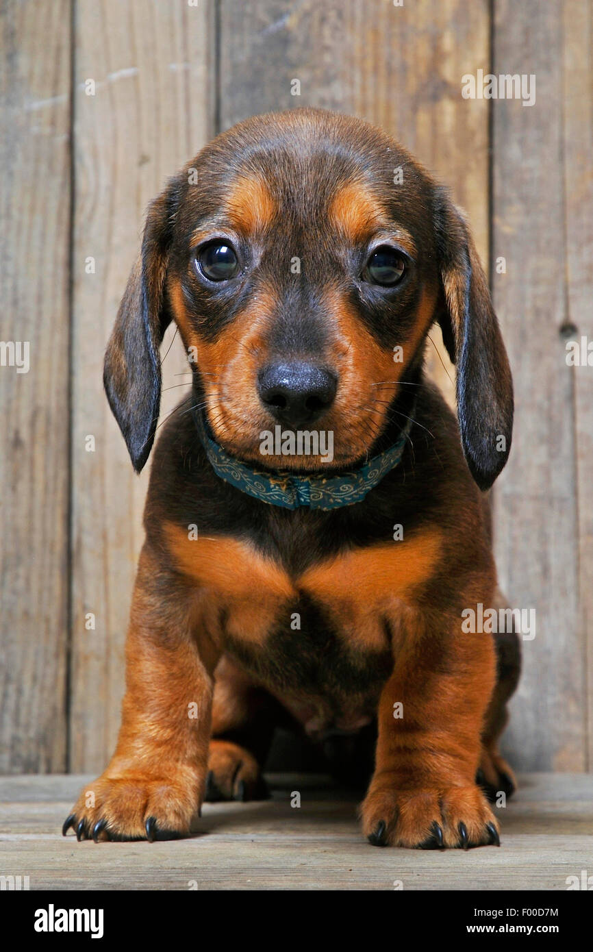 Short-haired Dachshund, Short-haired sausage dog, domestic dog