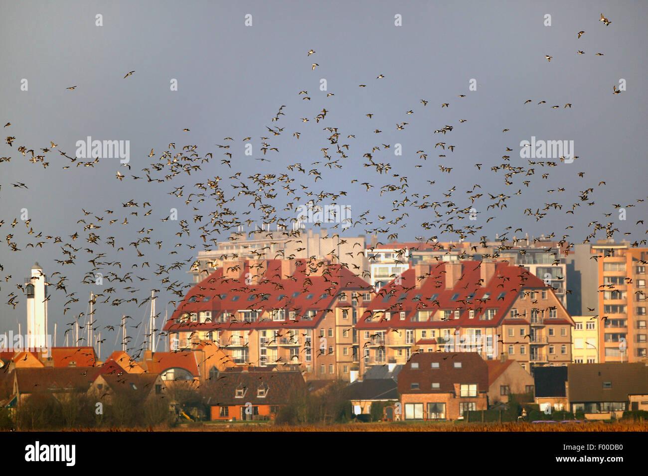 European wigeon (Anas penelope, Mareca penelope), flock in flight above field in winter along appartment buildings, - Stock Image