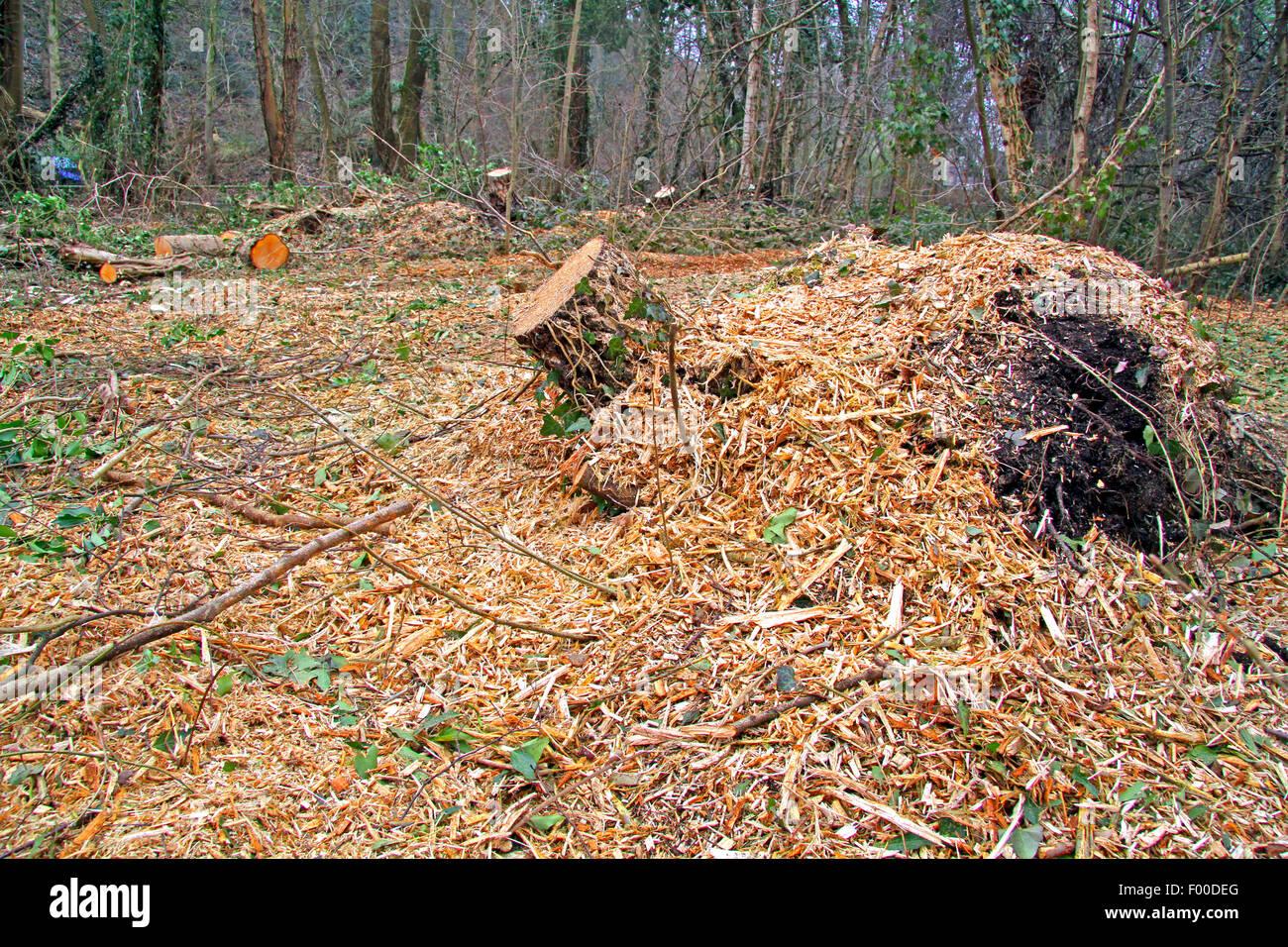 tree stub and chaffs, Germany - Stock Image