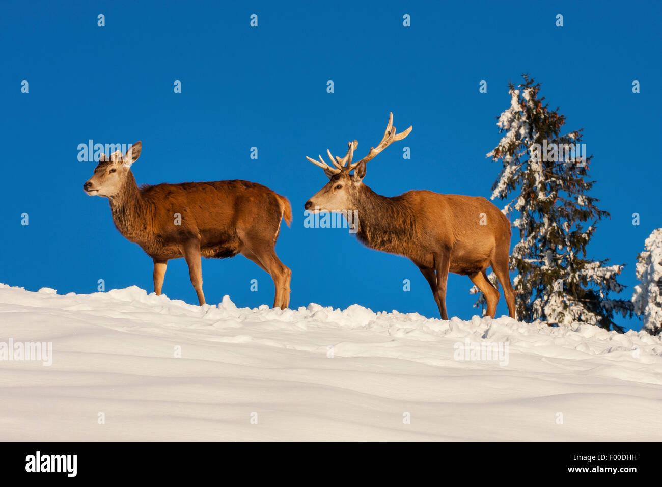 red deer (Cervus elaphus), two red deers in snowy landscape, Switzerland, Sankt Gallen - Stock Image