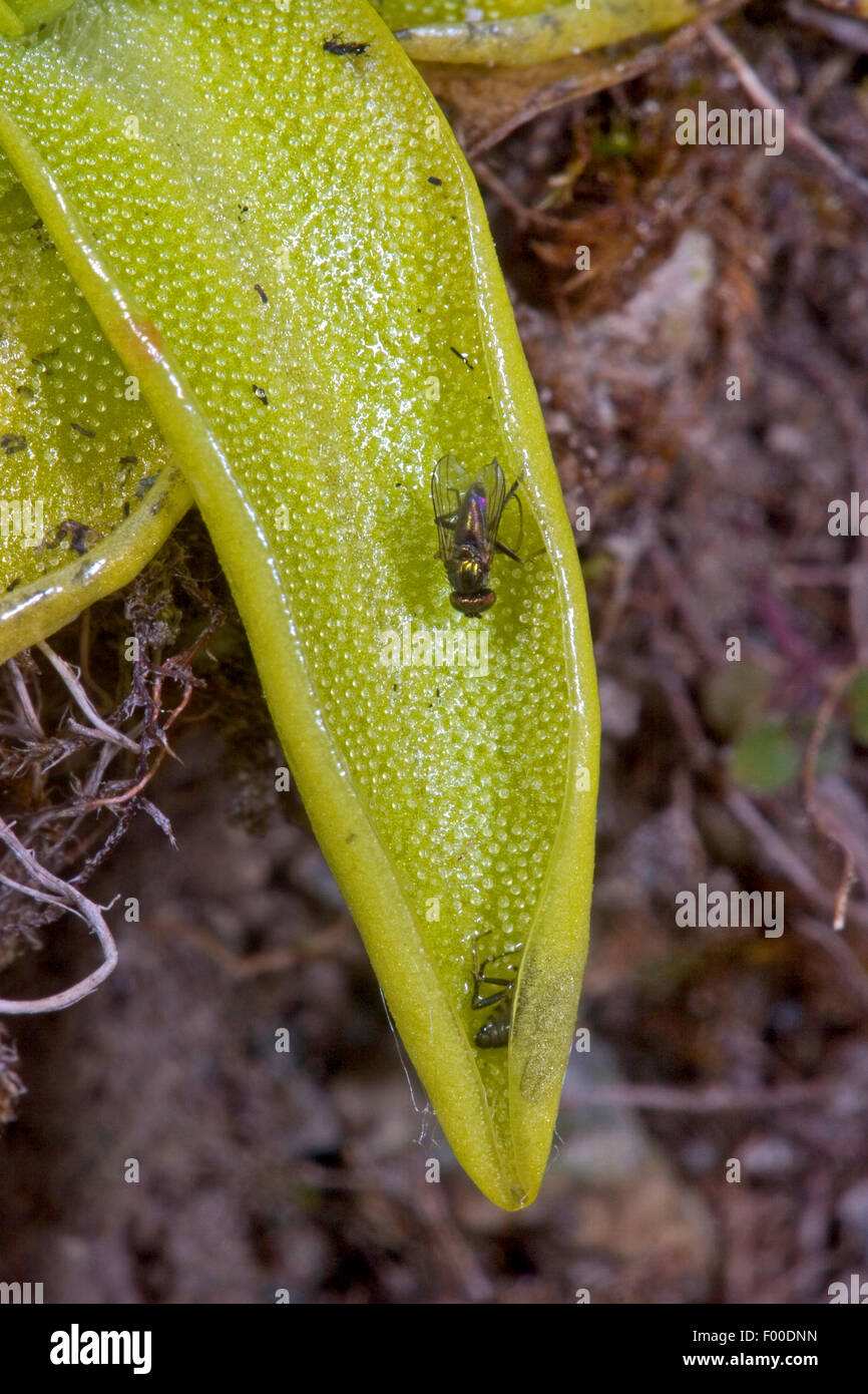 common butterwort (Pinguicula vulgaris), sticky leaves with adhering insects, Germany - Stock Image