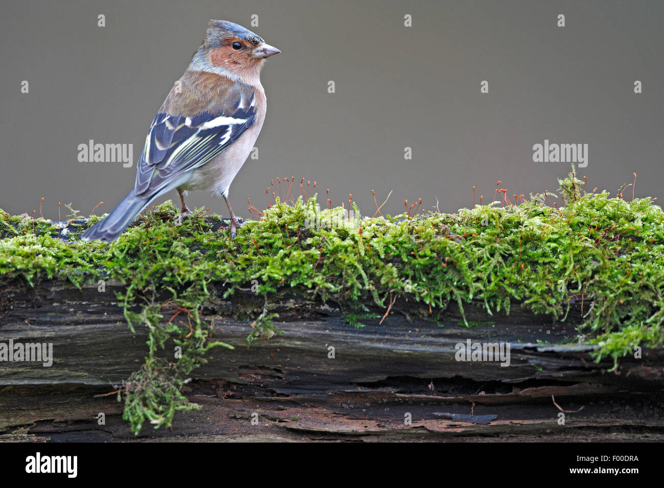 chaffinch (Fringilla coelebs), male on a rotten, mossy tree trunk, Belgium - Stock Image