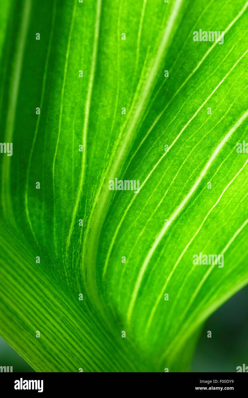 green lily leaf in garden Stock Photo