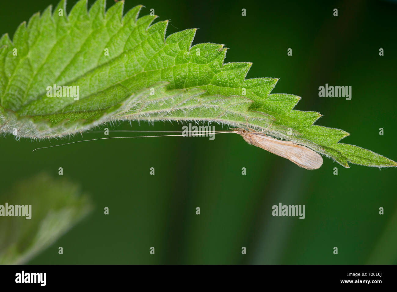 Long Horn Sedge, longhorn caddisfly, Long-horned Casemaker Caddisfly (Oecetis spec), on the underside of a leaf - Stock Image