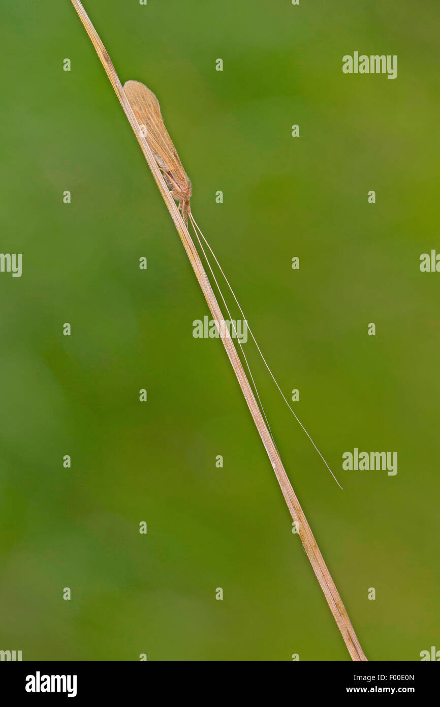 Long Horn Sedge, longhorn caddisfly, Long-horned Casemaker Caddisfly (Oecetis spec), at a blade of gras - Stock Image