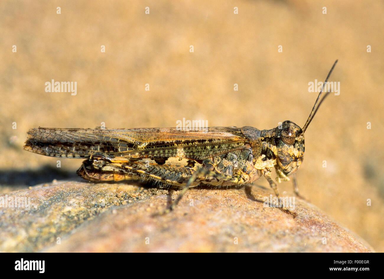 Slender Burrowing Grasshopper, Slender Digging Grasshopper, Slender Red-winged Grasshopper, Band-winged Grasshopper - Stock Image