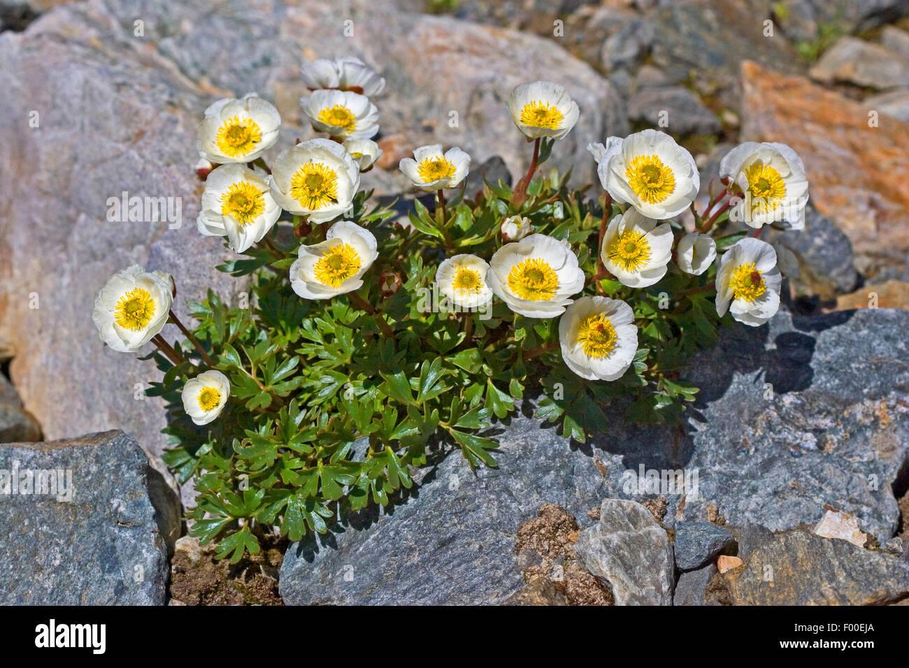 glacier crowfoot (Ranunculus glacialis), blooming between rocks, Austria Stock Photo