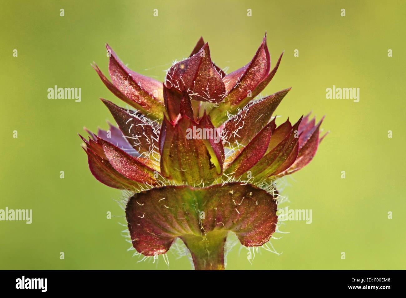 Large self-heal, Prunella loveliness (Prunella grandiflora), blooming, Germany - Stock Image
