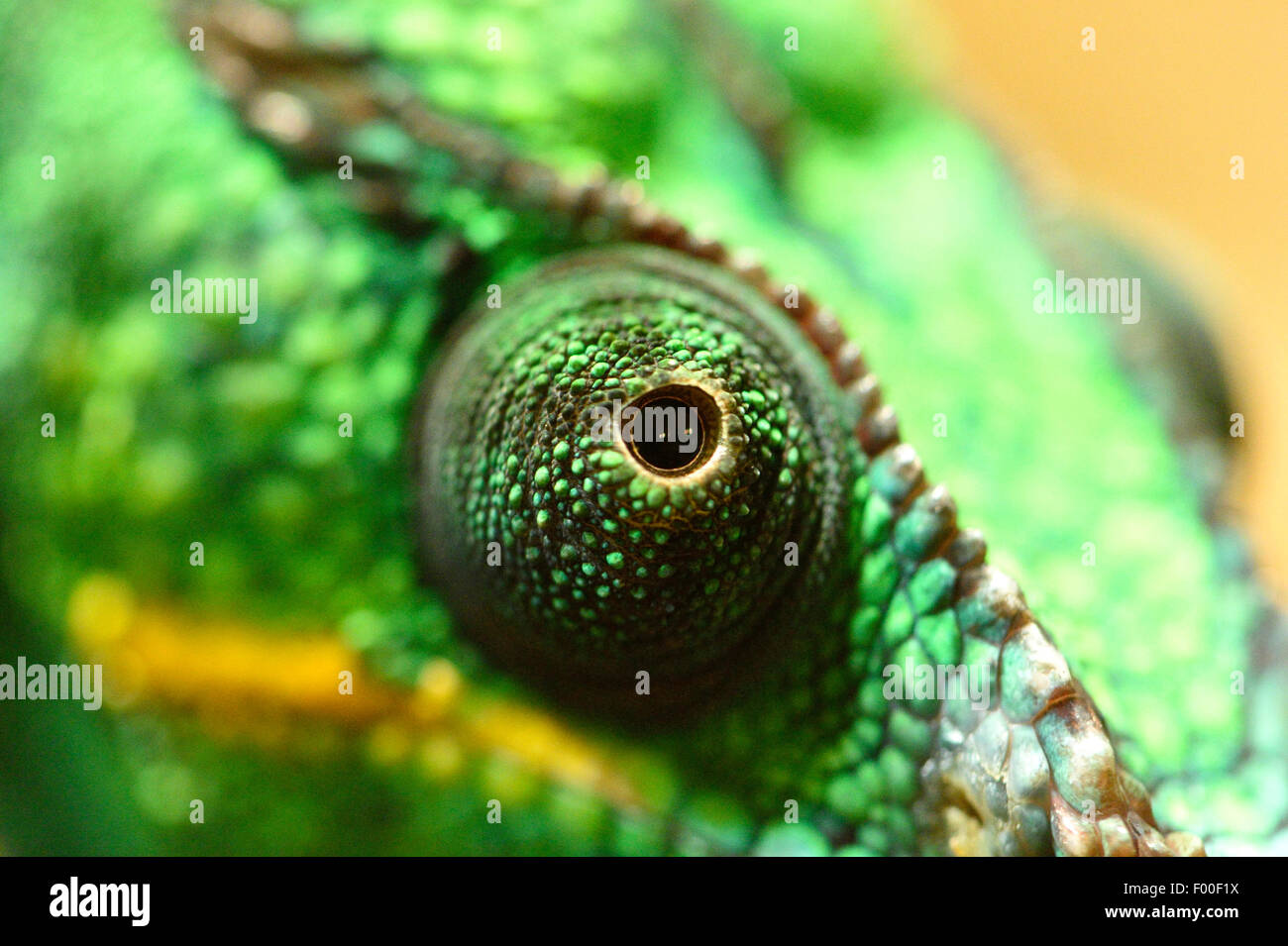 Panther chameleon (Furcifer pardalis, Chamaeleo pardalis), eye - Stock Image