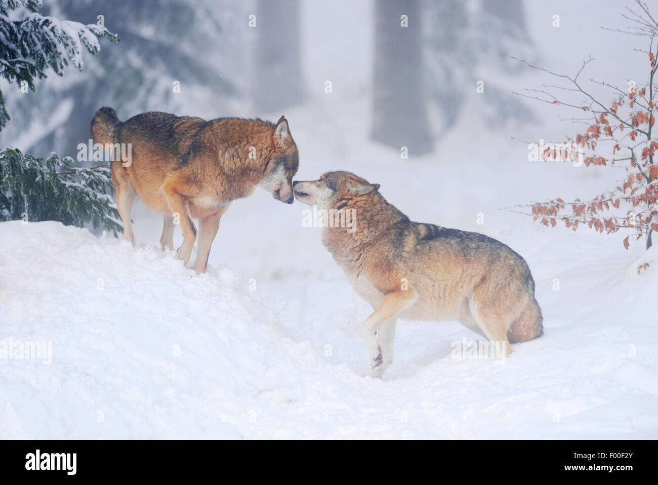 European Gray Wolf (Canis lupus lupus), two wolves greeting, Germany, Bavaria, Bavarian Forest National Park Stock Photo