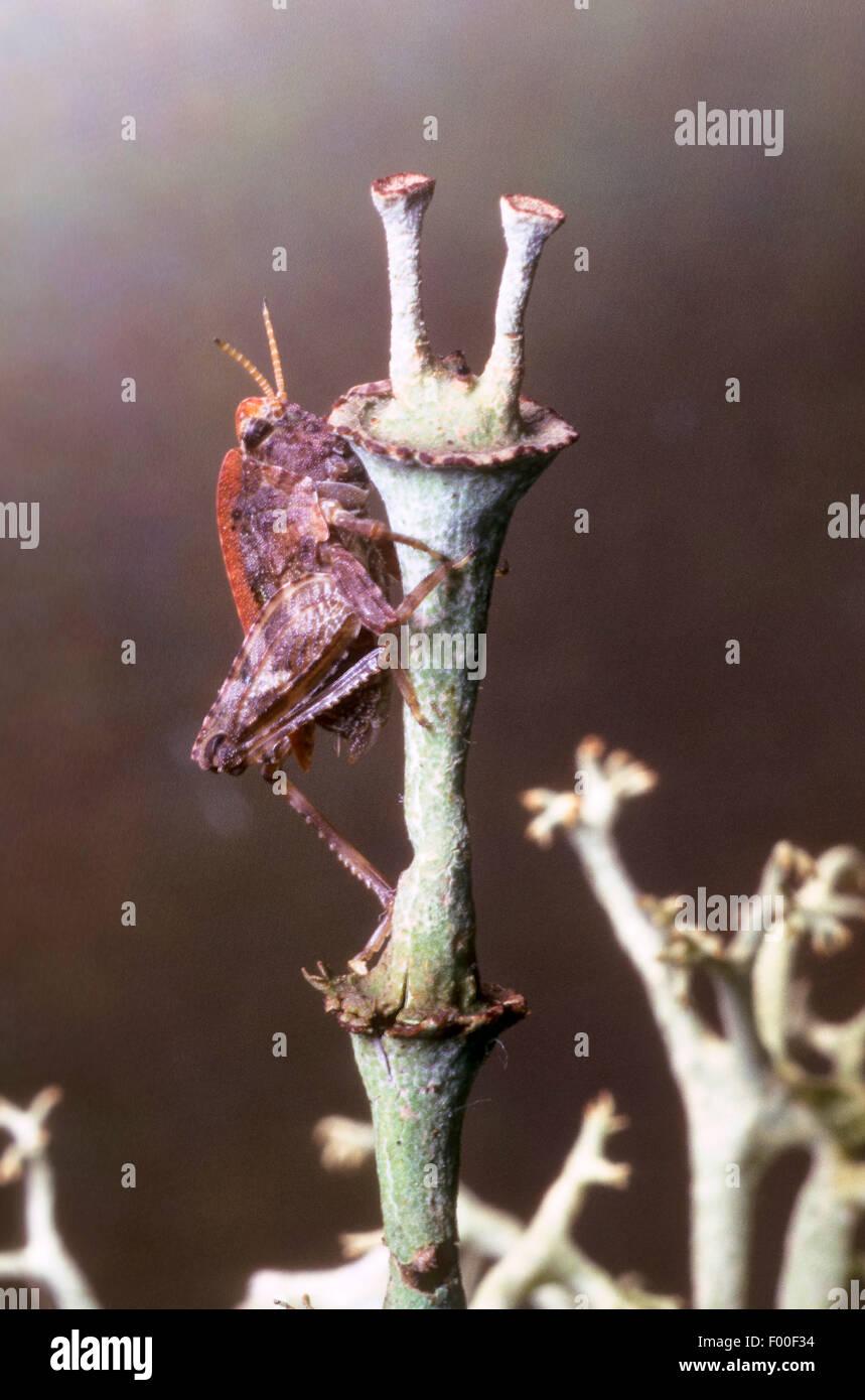 Twospotted groundhopper (Tetrix bipunctata), at a stem, Germany - Stock Image