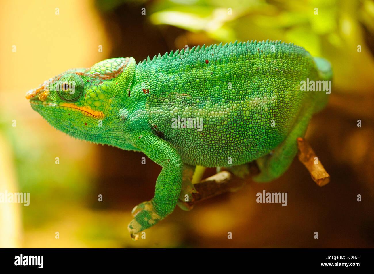 Panther chameleon (Furcifer pardalis, Chamaeleo pardalis), in a terrarium - Stock Image