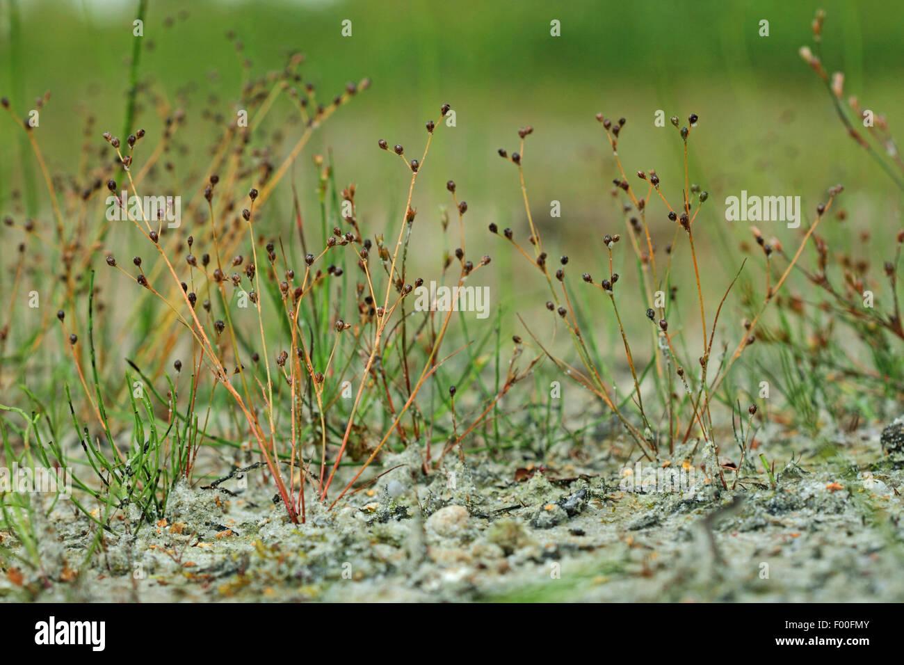 Sand rush (Juncus tenageia), blooming, Germany - Stock Image