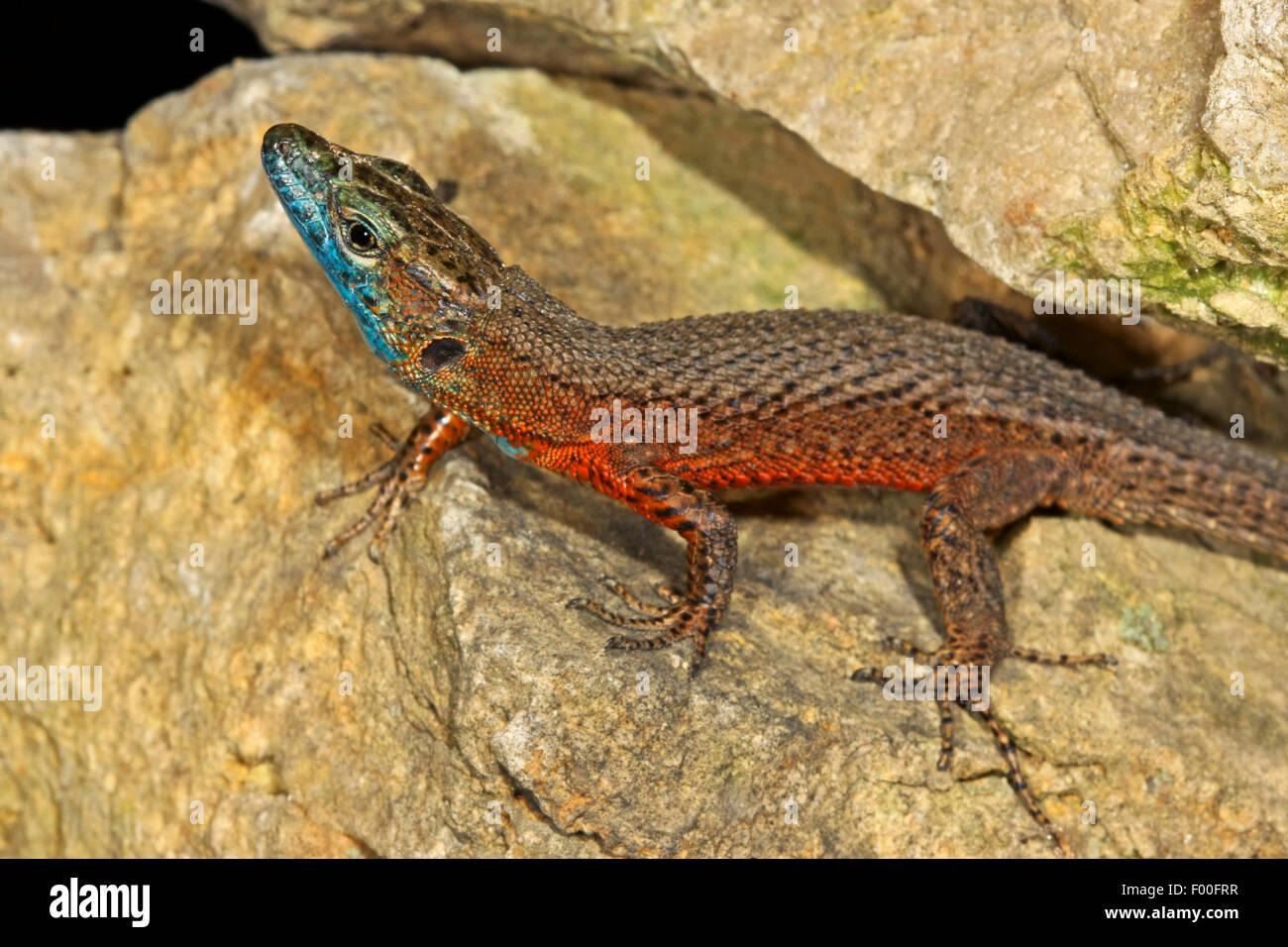 Blue-throated keeled lizard, Dalmatian Algyroides (Algyroides nigropunctatus), male on stones Stock Photo