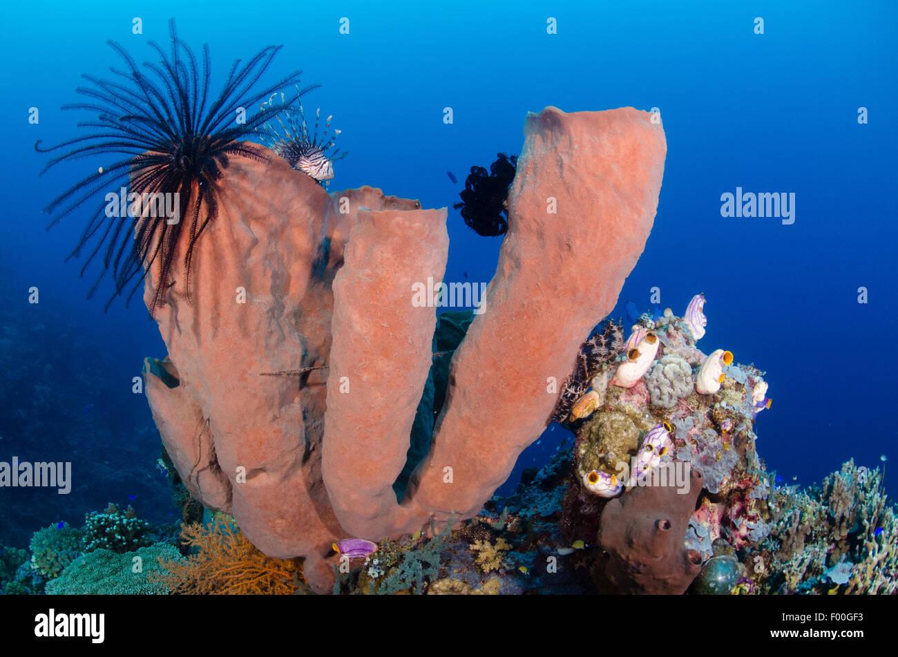 A lionfish, Pterois volitans,  hides atop tube sponges, Porifera sp., Parigi Moutong, Tomini Bay, Central Sulawesi, Stock Photo