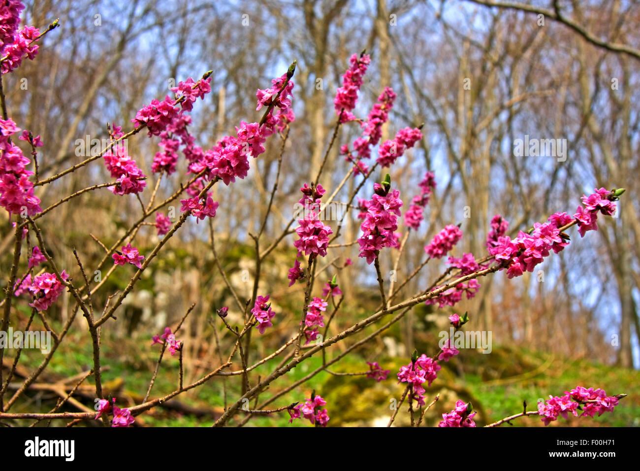 mezereon, February daphne (Daphne mezereum), blooming, Germany - Stock Image
