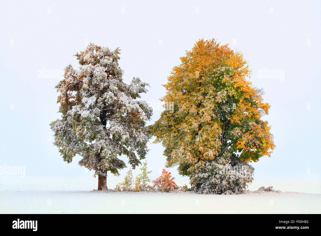 autumn trees in first snow, october, Germany - Stock Image