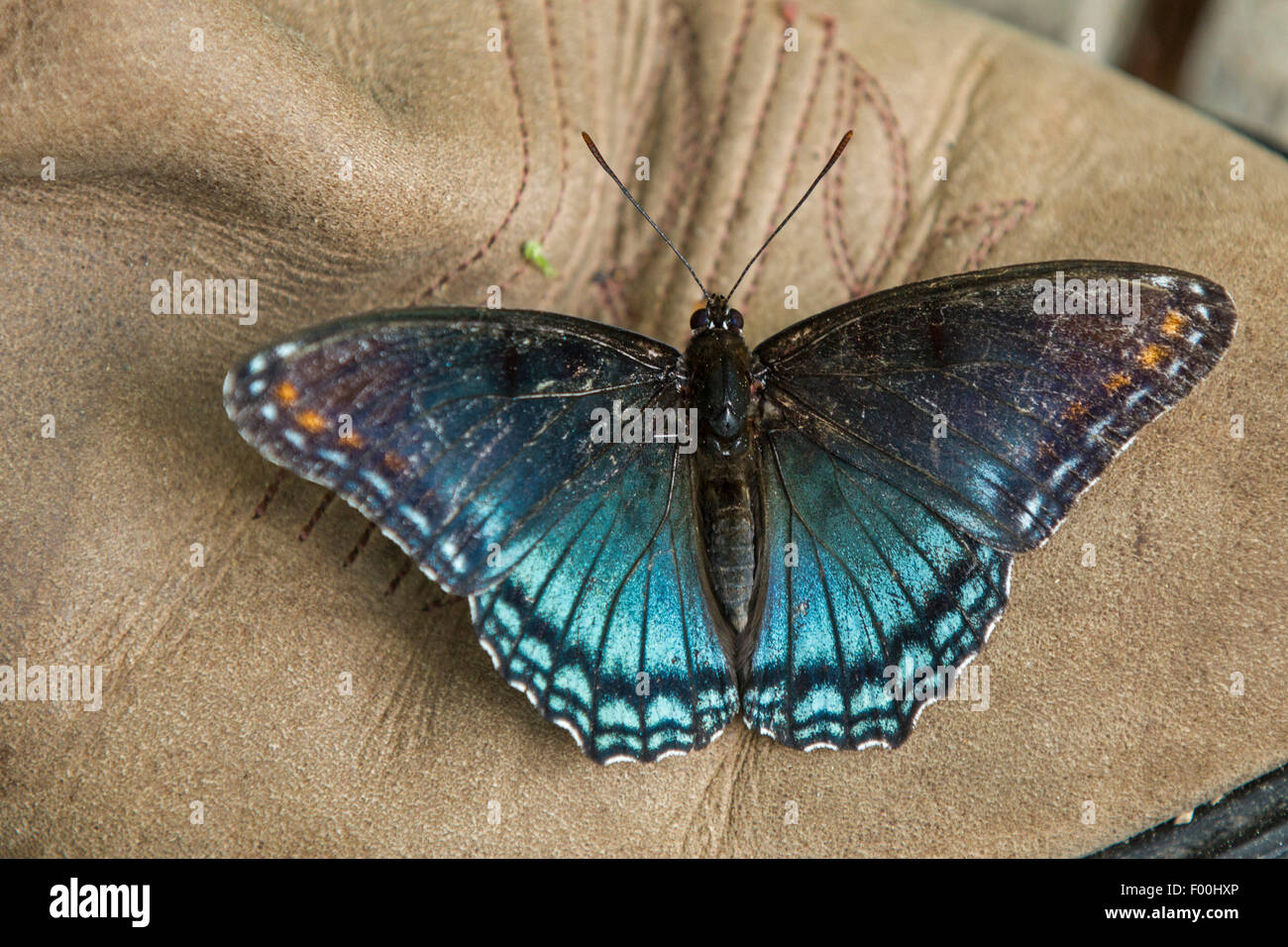 Red-spotted Purple (Limenitis arthemis astyanax), sucks minerals from a leather boot, USA, Tennessee, Great Smoky - Stock Image