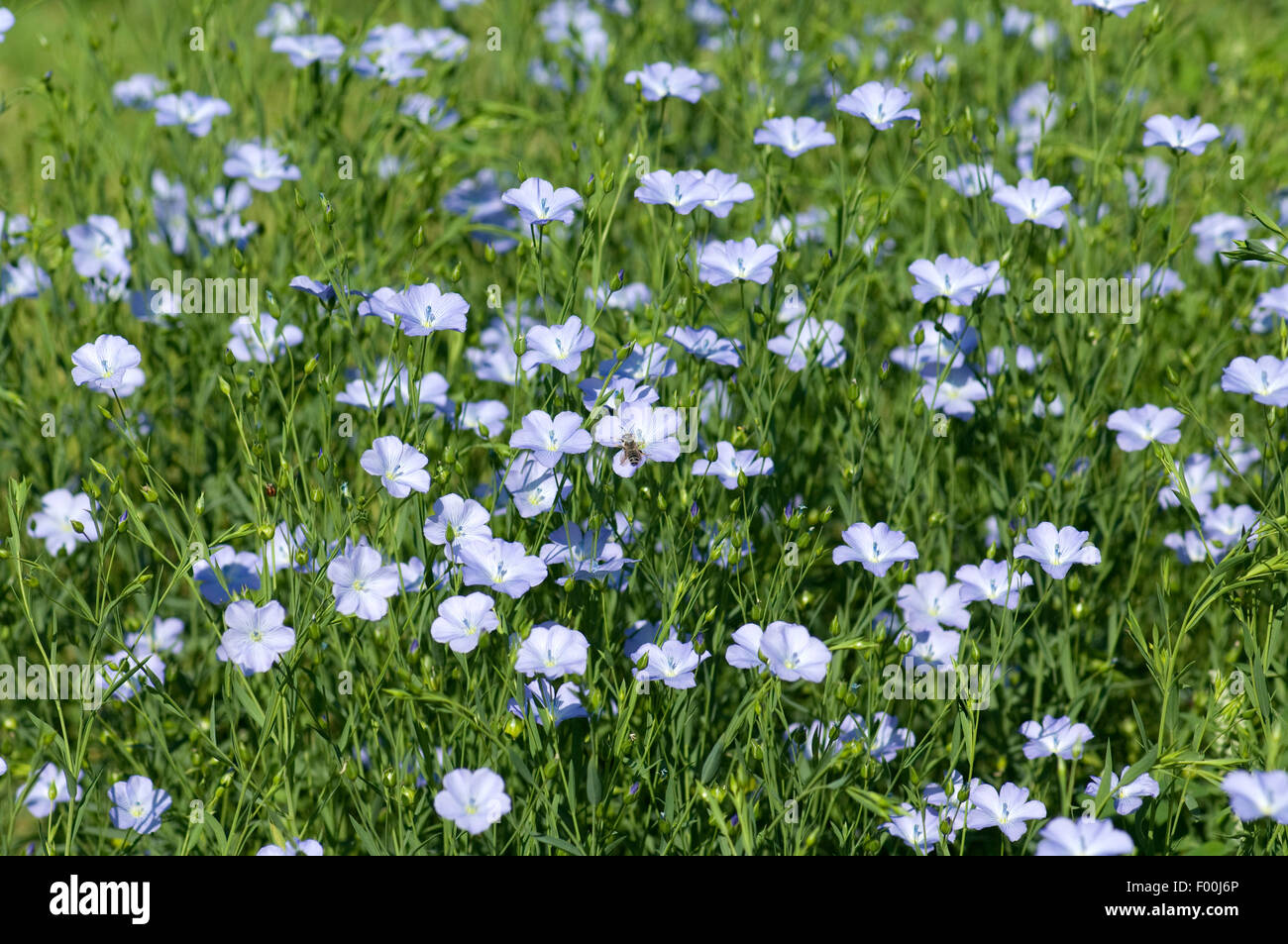 Lein; Linum; perenne; - Stock Image
