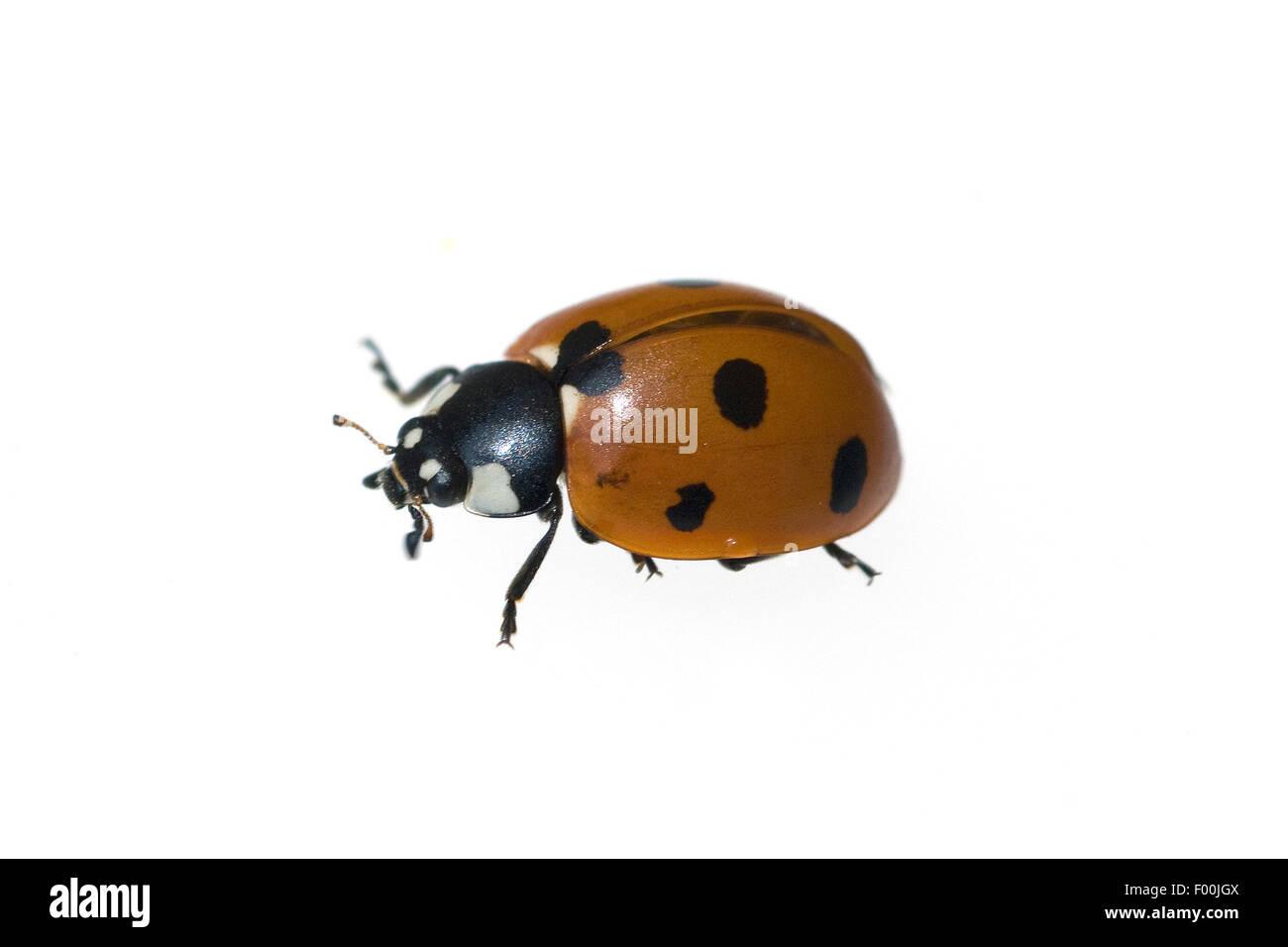 Marienkaefer; Coccinella; semptempunctata; 7-Punkt; insekt - Stock Image