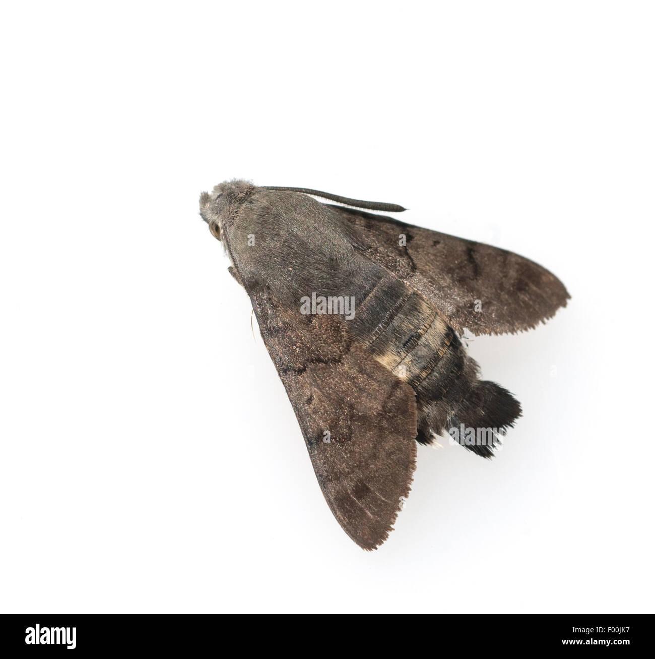 Taubenschwaenzchen; Macroglossum; stellatarum; Schmetterling - Stock Image