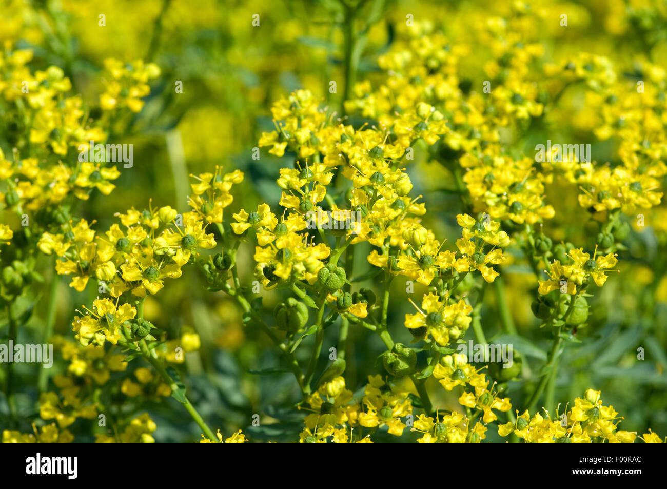Weinraute, Ruta, graveolens, Raute, Gewuerzpgflanze, heilpflanze - Stock Image