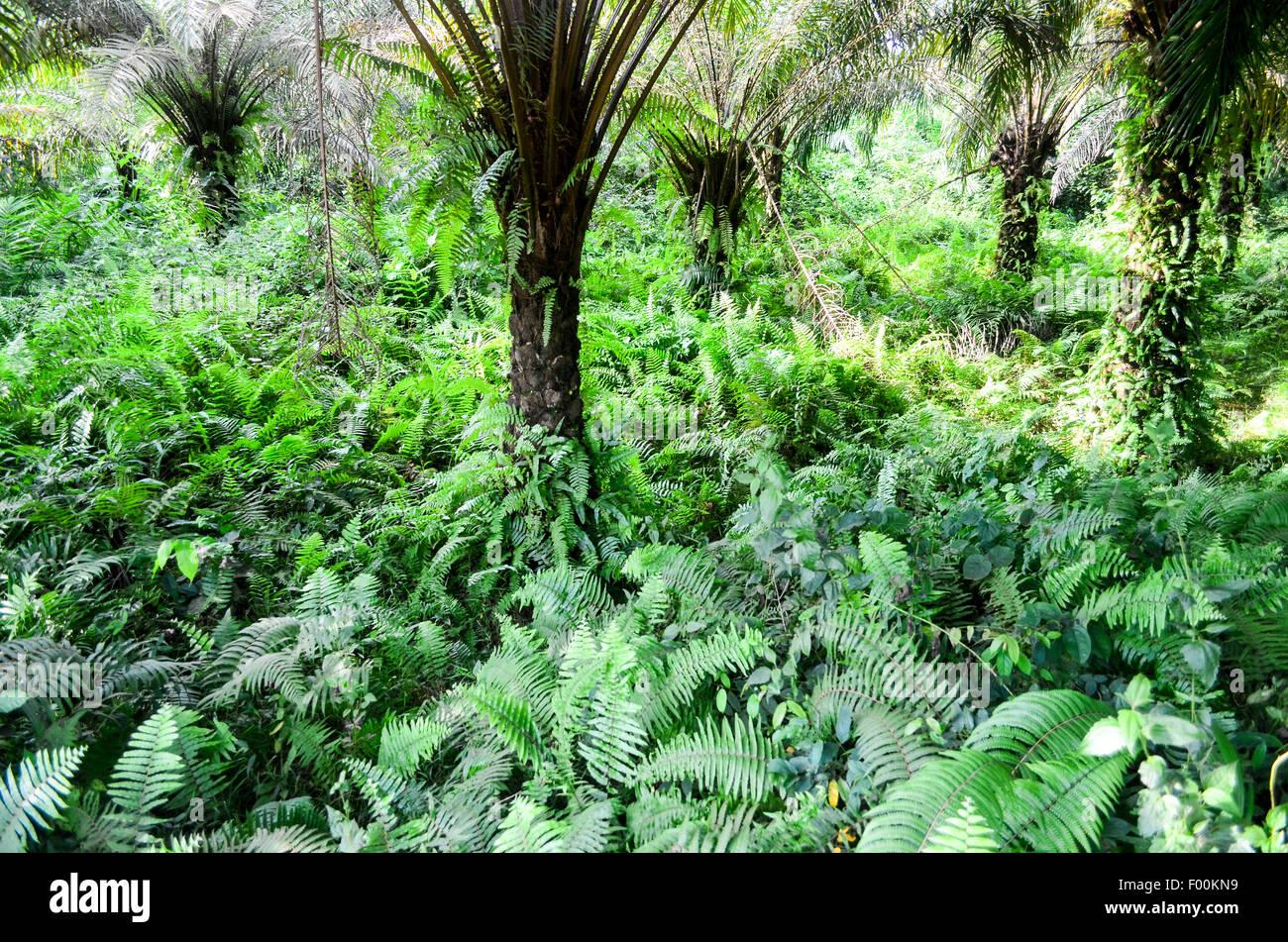 Greenery in Ghana, a tropical scene - Stock Image
