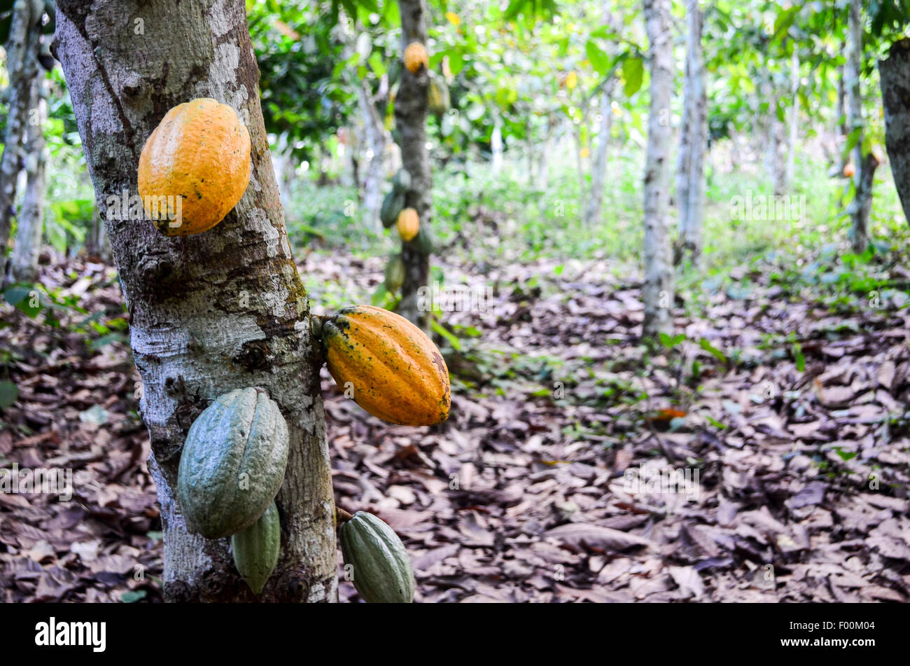 Geen and yellow cocoa pods in a plantation in Ghana - Stock Image