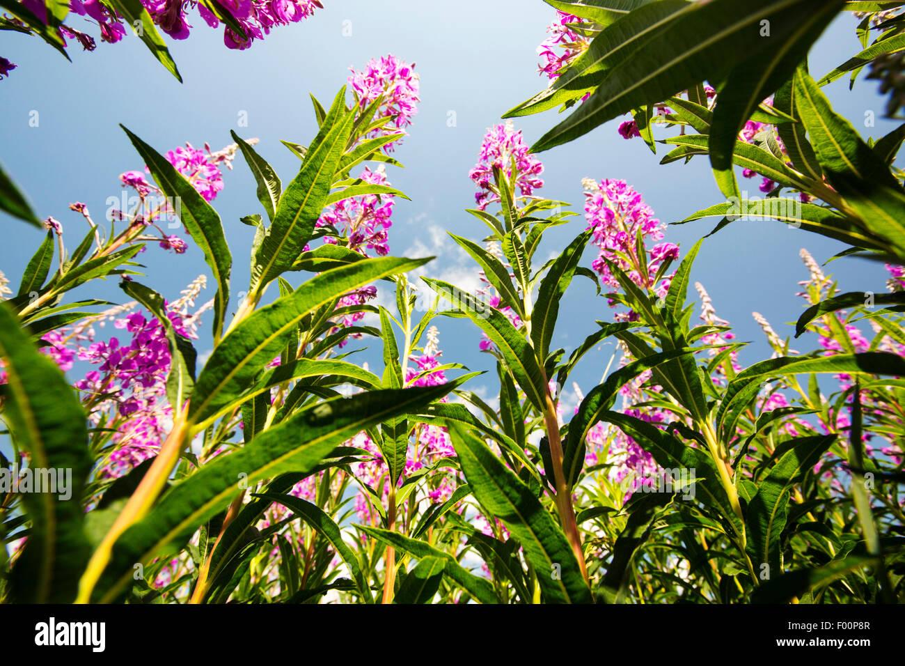 Rosebay Willowherb, Chamerion angustifolium flowering in the Lyth Valley, Cumbria, UK. Stock Photo