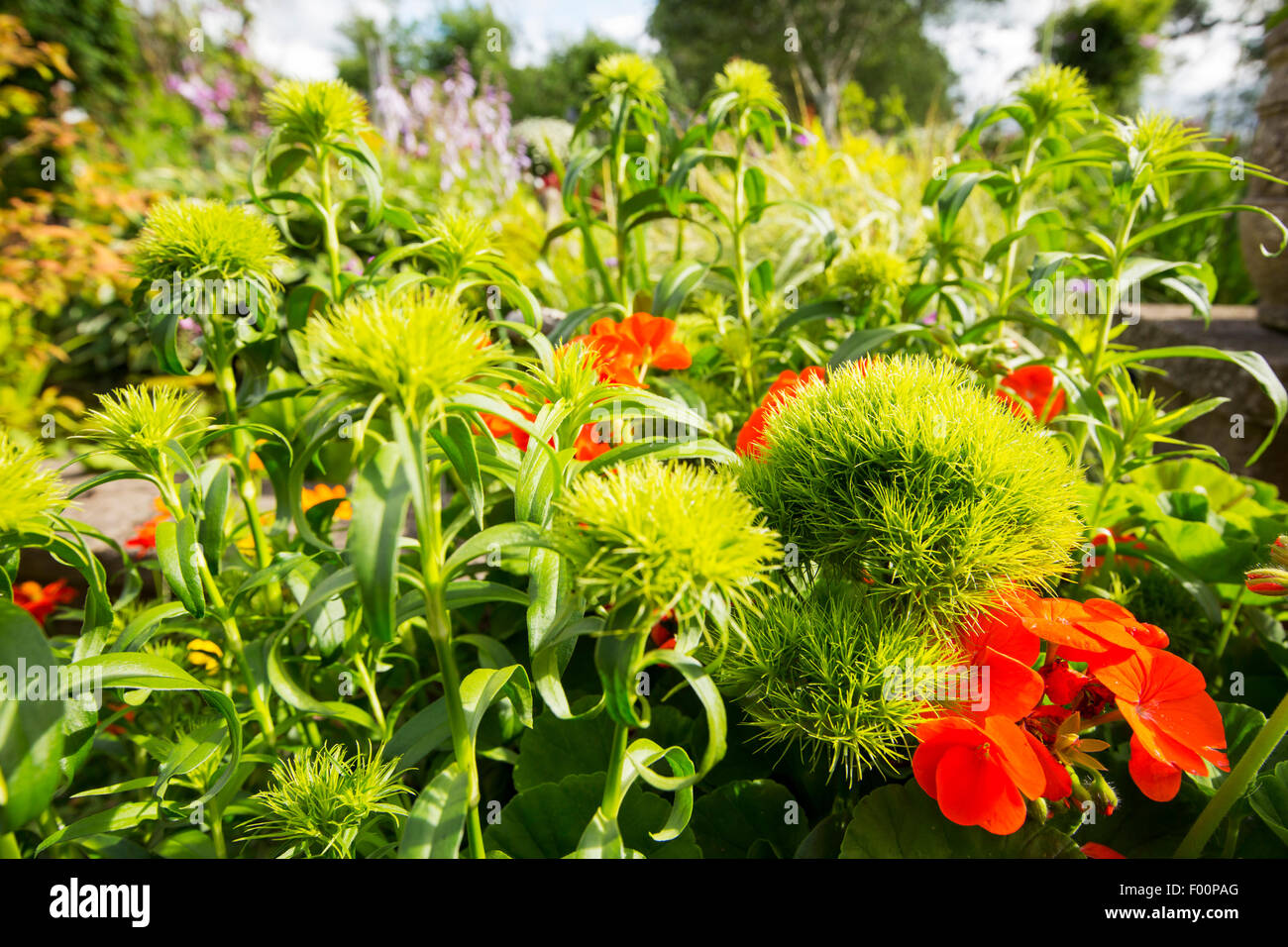 Geranium flowers and  Sweet William, Dianthus barbatus, Green Trick in a garden in Clitheroe, Lancashire, UK. - Stock Image
