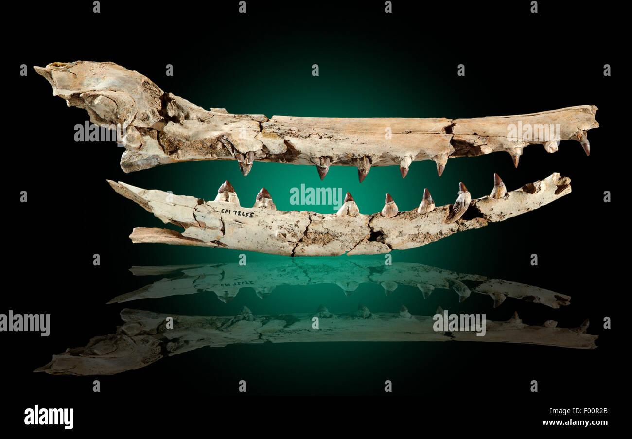 Xenorophus sp., Fossil Whale Skull, Late Oligocene, Shadow-Moss Plantation, South Carolina - Stock Image