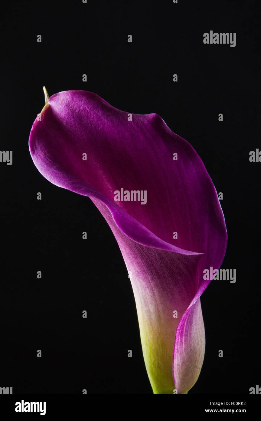 purple Calla flower - Stock Image