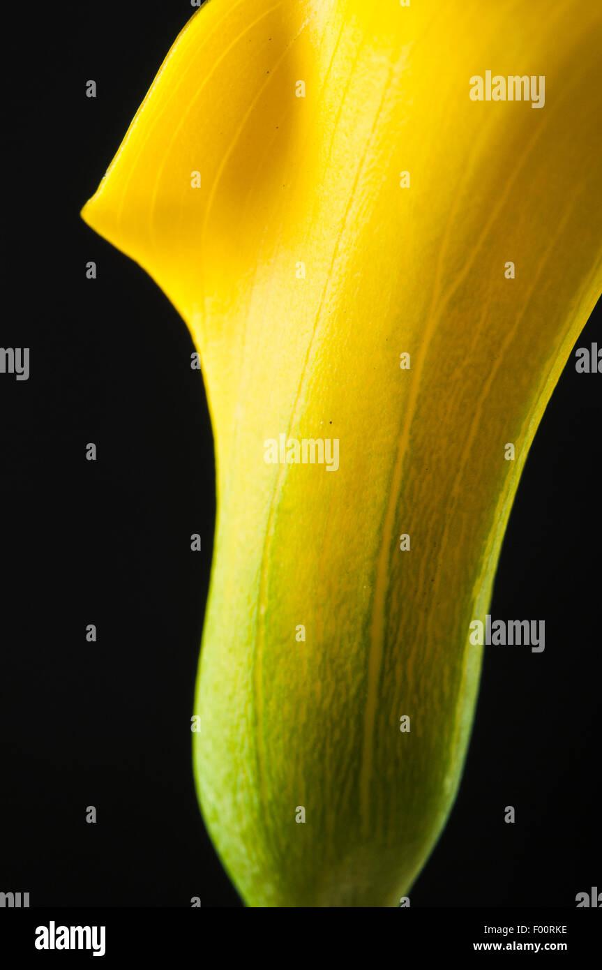yellow Calla flower - Stock Image