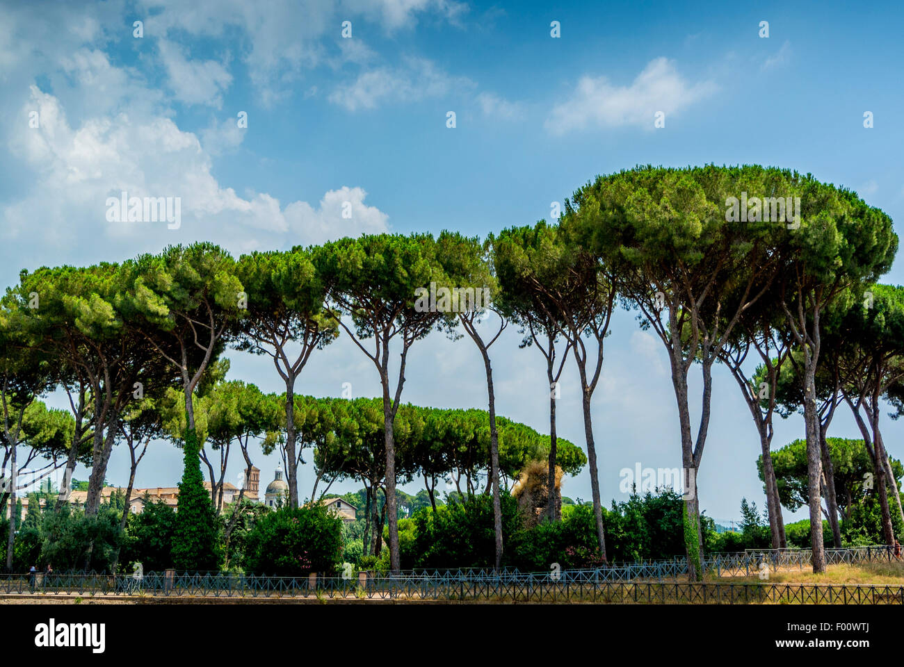 Pine trees along the edge of the stadium in the Roman forum. Rome. Italy. - Stock Image