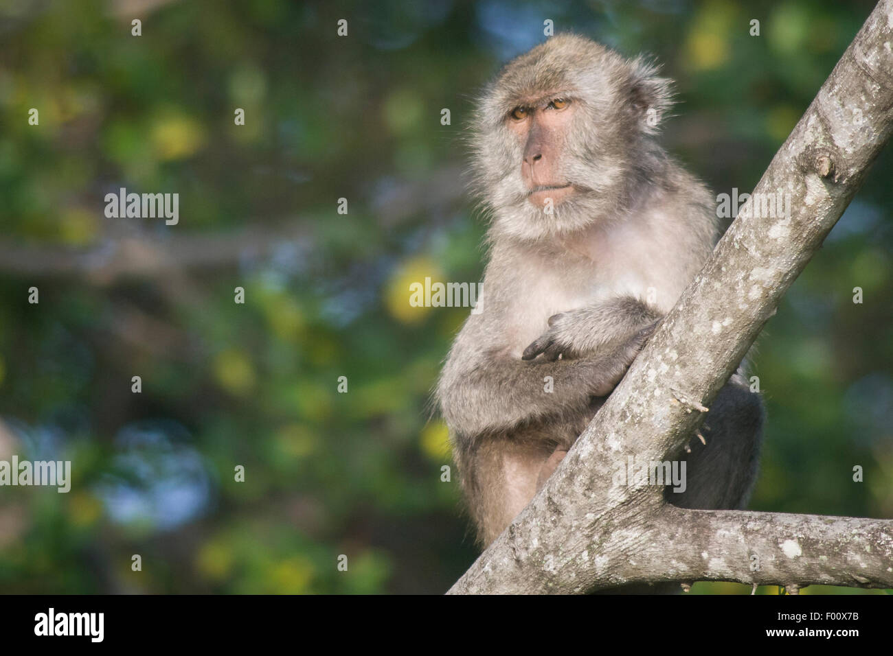Crab-eating macaque with crossed arms. - Stock Image