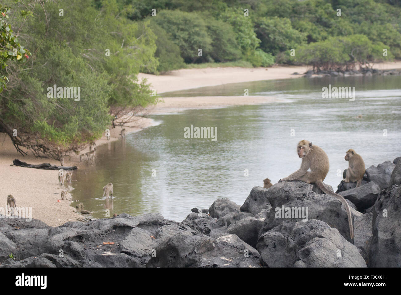 Troupe of crab-eating macaques foraging for food along the coast in Java, Indonesia. - Stock Image