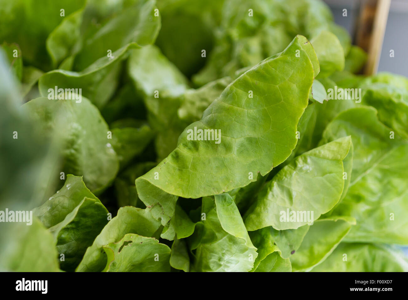 close up of a head of green leaf lettuce at the farmers market - Stock Image