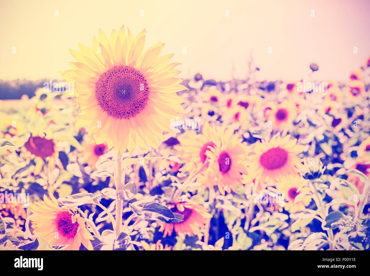 Vintage toned sunflowers, nature background. - Stock Image