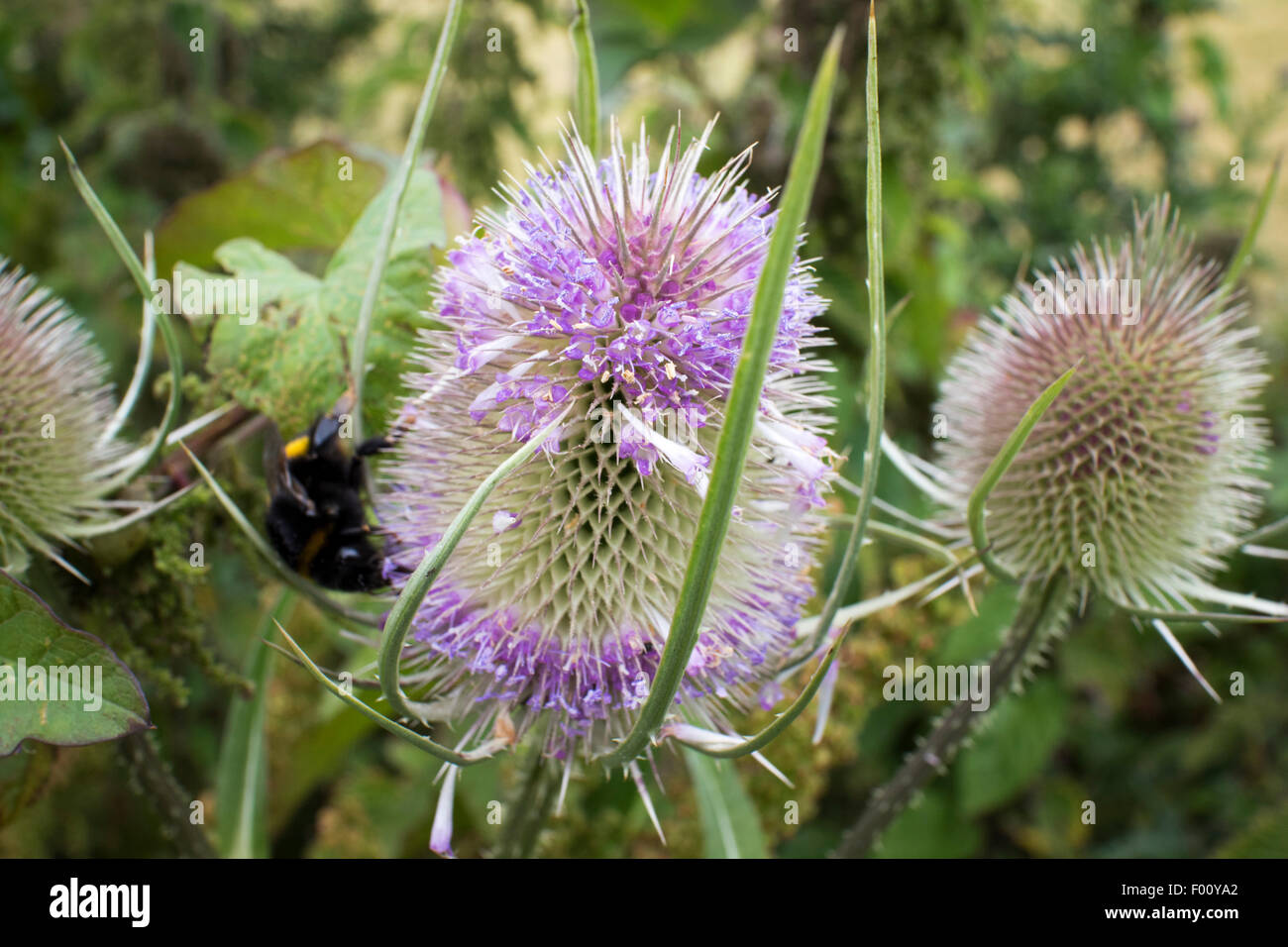 teasel dipsacus fullonum plant growing in north wales uk - Stock Image