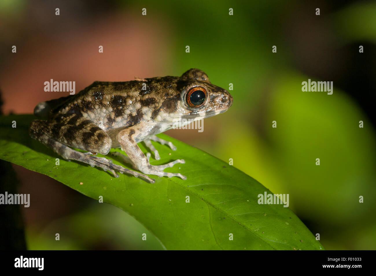 Rough-sided frog (Hylarana glandulosa) on a leaf. - Stock Image