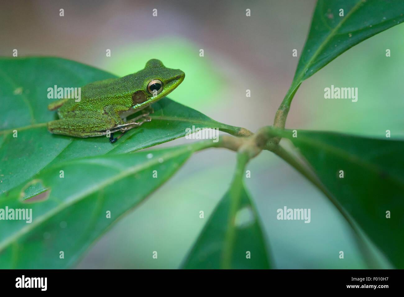White-lipped frog (Hylarana raniceps) on a leaf. - Stock Image