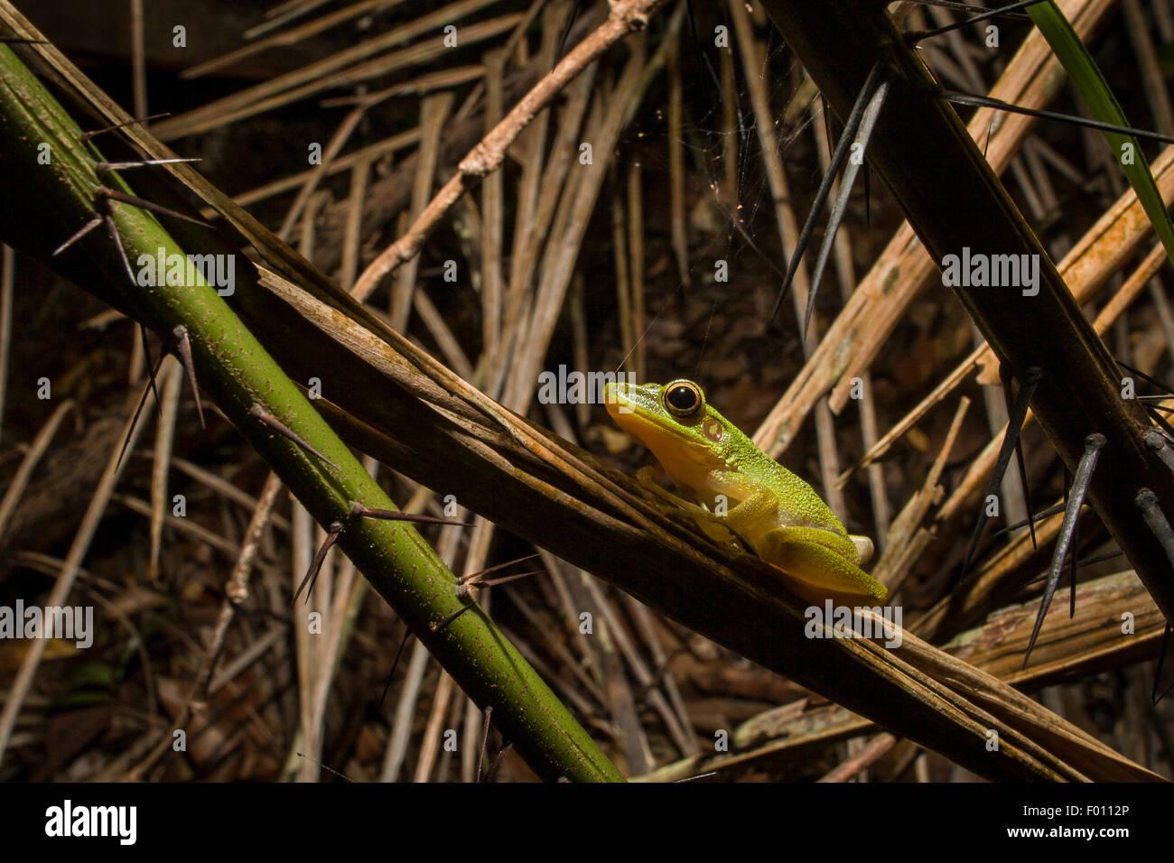 White-lipped frog (Hylarana raniceps) on a thorny branch. - Stock Image