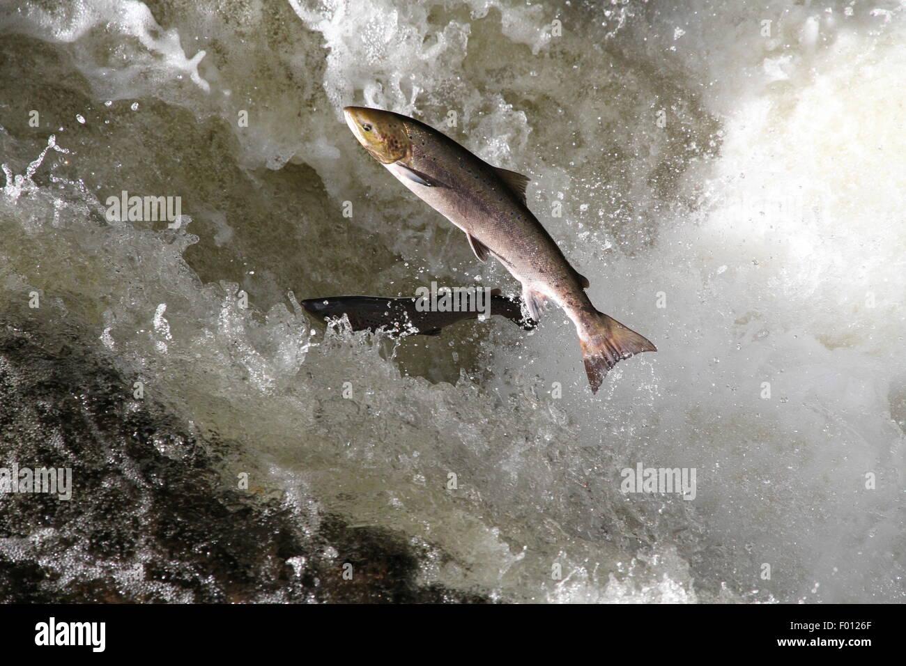 Scottish wild salmon leaping, River Almond, Perthshire, Scotland Stock Photo: 86075543