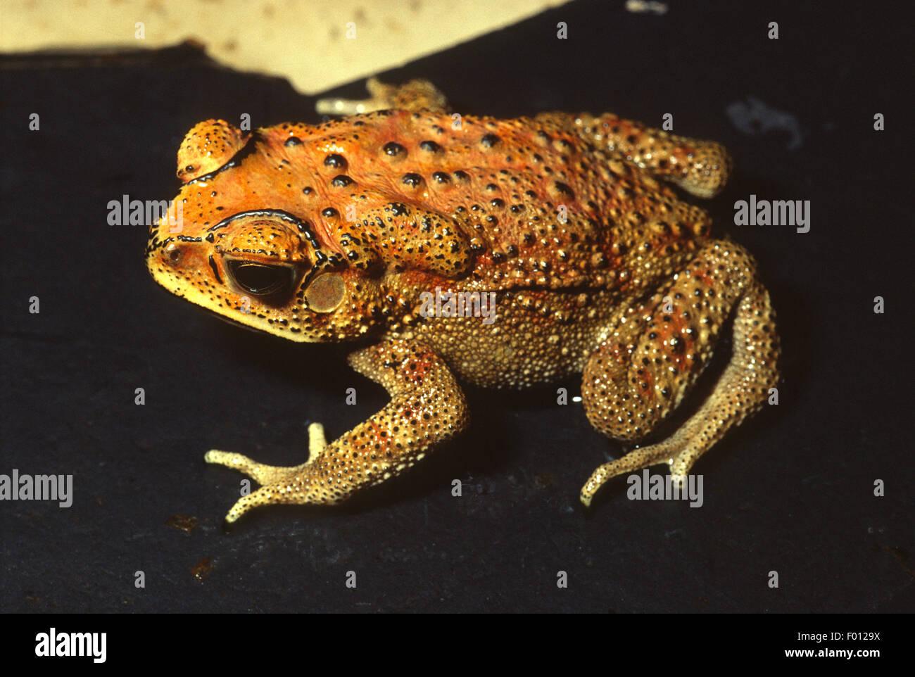 Asian common toad, Duttaphrynus melanostictus, Bufonidae, Asia - Stock Image