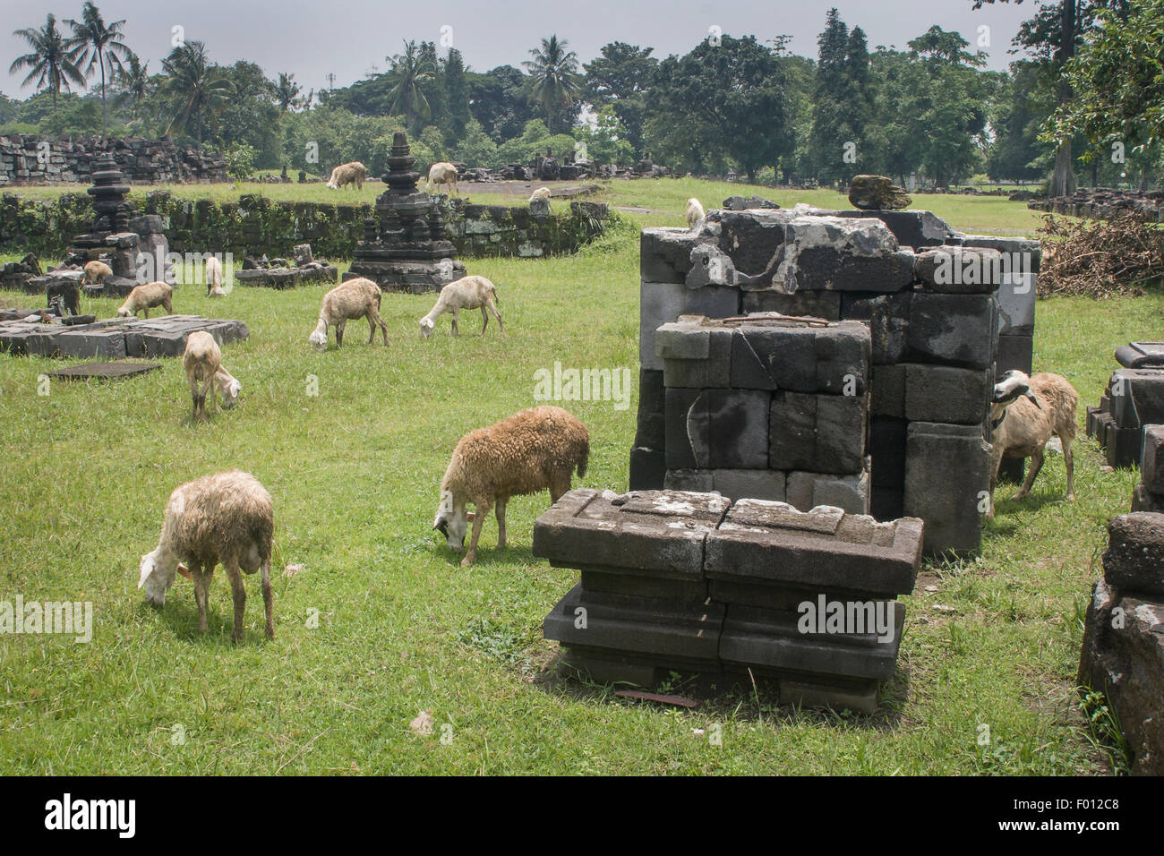 A herd of sheep wander the ruins of the 9th century Hindu temple, Prambanan (Java, Indonesia). - Stock Image