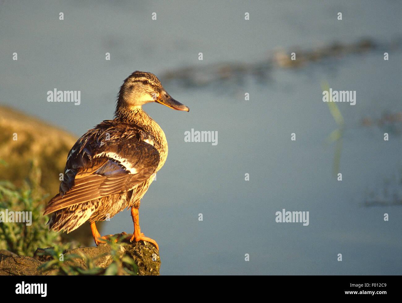 Female of mallard of wild duck (Anas platyrhynchos), Anatidae, Tiber River, Rome, Italy, Europe - Stock Image